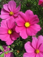 Colorful, Pretty Flowers
