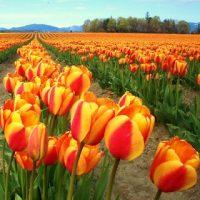 Skagit Valley Tulip Fields!!