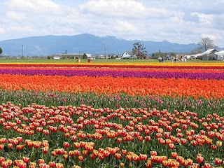 Skagit Valley Tulip Fields!!