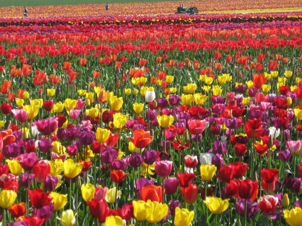 Tulips, tulips, tulips.....omg!