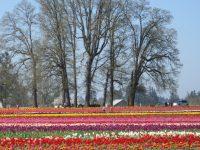 Tulips, tulips, tulips…..omg!